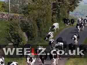 There are more Driving Test myths than there are cows in this image
